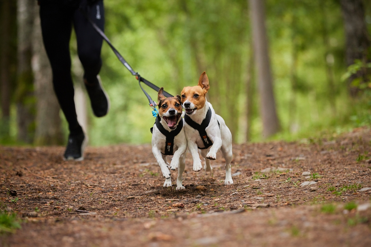 small dogs canicross